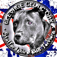 Etalon chiot élevage Staffordhire Bull Terrier staffie Knightwood Oak Celtic Oak Chiens de france club Staffordshire Bull Terrier de France FABAS http://www.stamtavler.com/dogarchive/ fila brasileiro