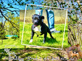 Etalon chiot élevage Staffordhire Bull Terrier staffie Knightwood Oak Celtic Oak