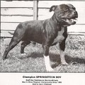 Etalon chiot élevage Staffordhire Bull Terrier staffie Knightwood Oak Celtic Oak Chiens de france