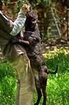 Etalon chiot élevage Staffordhire Bull Terrier staffie Knightwood Oak Celtic Oak Chiens de france club Staffordshire Bull Terrier de France FABAS http://www.stamtavler.com/dogarchive/ dessin energetiq