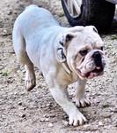 Etalon chiot élevage Staffordhire Bull Terrier staffie Knightwood Oak Celtic Oak Chiens de france club Staffordshire Bull Terrier de France FABAS