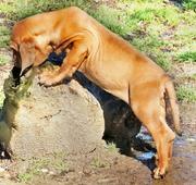 Etalon chiot élevage Staffordhire Bull Terrier staffie Knightwood Oak Celtic Oak Chiens de france club Staffordshire Bull Terrier de France FABAS http://www.stamtavler.com/dogarchive/ fila brasileiro cane corso