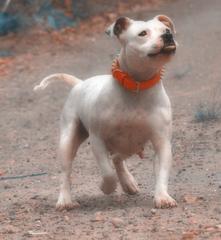 Etalon chiot élevage Staffordhire Bull Terrier staffie Knightwood Oak Celtic Oak Chiens de france club Staffordshire Bull Terrier de France FABAS Pedigree data base fila brasileiro cane corso