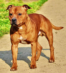 Etalon chiot élevage Staffordhire Bull Terrier Knightwood Oak Celtic Oak