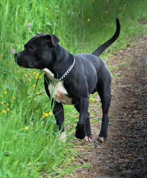 Comportement Staffie elevage staffordshire bull terrier - celtic oak - knightwood oak