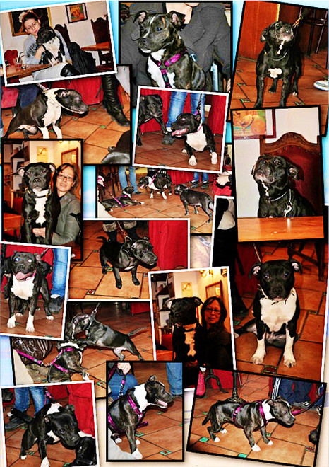 Rencontre Staffordshire Bull Terrier - Aix en Provence - Janvier 2012 - Bulldogge & Barrister