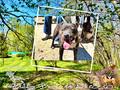 Etalon chiot élevage Staffordhire Bull Terrier staffie Knightwood Oak Celtic Oak