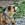 Etalon chiot élevage Staffordhire Bull Terrier staffie Knightwood Oak Celtic Oak Chiens de france