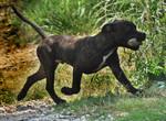 Etalon Staffordhire Bull Terrier