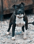 Etalon chiot élevage Staffordhire Bull Terrier staffie Knightwood Oak Celtic Oak Chiens de france club Staffordshire Bull Terrier de France FABAS Pedigree data base fila brasileiro cane corso