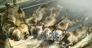 Etalon chiot élevage Staffordhire Bull Terrier staffie Knightwood Oak Celtic Oak Chiens de france club Staffordshire Bull Terrier de France FABAS Pedigree data base fila brasileiro cane corsoEtalon chiot élevage Staffordhire Bull Terrier staffie Knightwoo