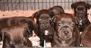 chiots staffie Staffordshire Bull Terrier