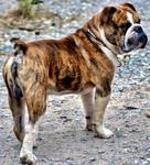 Etalon chiot élevage Staffordhire Bull Terrier Knightwood Oak Celtic Oak